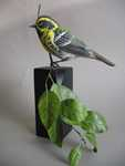Townsend's Warbler SOLD
