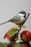 Black-capped Chickadee and fall apples,detail