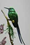 Violet-tailed Sylph Detail