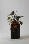 black-capped chickadees and apples