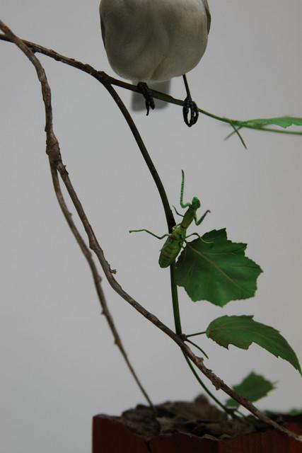 Detail, Loggerhead Shrike
