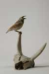 Western Meadowlark and Antelope Skull